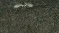 Stock Video Footage of Barn Owl Hunting
