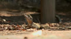 Inquisitive lizard 2 - stock footage