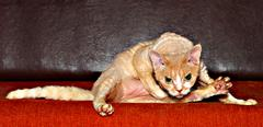 red cat on red sofa - stock photo