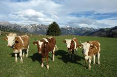 Cows in Swiss forms Stock Photos