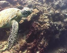 Swimming Turtle closeup - stock footage