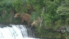 BROWN BEAR MOVES UP WATERFALL - stock footage