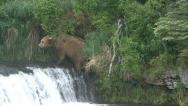 Stock Video Footage of BROWN BEAR MOVES UP WATERFALL