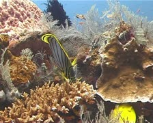 Butterfly fish on coral reef Stock Footage