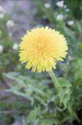 a lone yellow flower - stock photo
