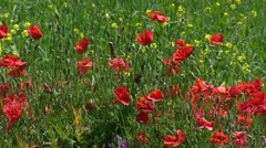 Alpine meadow with poppies blooming Stock Footage