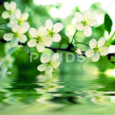 Stock Illustration of branch of a blossoming apple-tree reflex on water