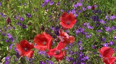 Alpine meadow with red and purple flowers in bloom Stock Footage