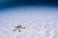 Sea star resting on a sandy sea bottom Stock Photos