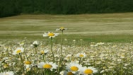 In a chamomile field Stock Footage