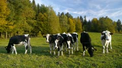 Cows on a pasture - stock footage