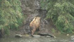 BROWN BEAR CLIMB - stock footage