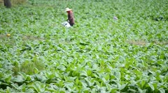 Tobacco farm and farmer take apply fertilizer for plants Stock Footage