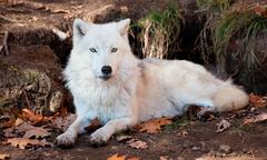 Arctic wolf looking at the camera Stock Photos