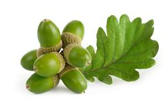 green acorns with leaf on white - stock photo