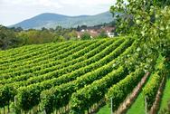 Vineyard on the countryside Stock Photos