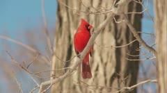 Northern Cardinal (Cardinalis cardinalis) - Male 1 Stock Footage