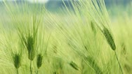 Ears of wheat. Close-up Stock Footage