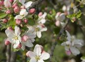 Stock Photo of apple blossoms detail