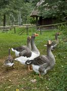 rural idyllic scenery showing some geese - stock photo