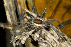 Amazonian raft spider (family  pisauridae) in rainforest, ecuador. Stock Photos