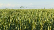 Field of wheat Stock Footage