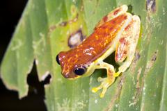 Red-skirted treefrog (dendropsophus rhodopeplus) on a leaf beside a rainfores Stock Photos