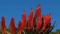 Red hot poker Stock Footage