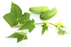 cucumber branch and two cucumber - stock photo