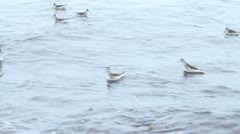 Phalaropes shake and turned in an ocean surf Stock Footage