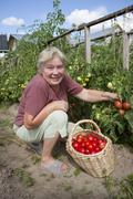 Woman reaps a crop of tomatoes Stock Photos