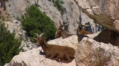 Brown goats ruminating on rock zoom out Stock Footage