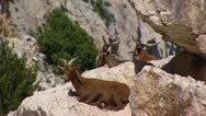 Stock Video Footage of brown goats ruminating on rock zoom out