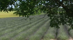 Lavender field blooming in rows Stock Footage