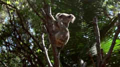 Koala scratching and stretching Stock Footage
