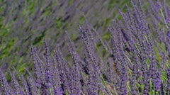 Lavender field rows blooming in wind - close up Stock Footage