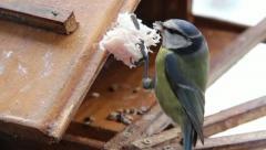 Blue Tit (Cyanistes caeruleus) Eating Pork Fat Stock Footage