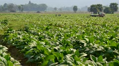 Time lapse farmer plant tobacco in farm Stock Footage