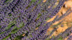 Lavender in bloom on dry soil - close up Stock Footage
