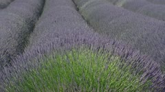 Rows of blooming lavender in wind - full screen. Stock Footage