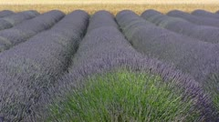 Cornfield behind rows of blooming lavender in wind Stock Footage