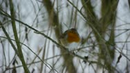 Stock Video Footage of Robin in winter