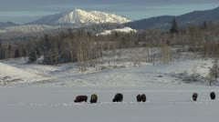 P02501 Bison at Jackson Hole in Winter Stock Footage