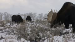 P02502 Moose Feeding at Jackson Hole Wyoming in Winter Stock Footage