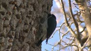 Stock Video Footage of P02518 Acorn Woodpecker at Pinnacles National Monument