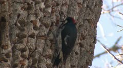 P02519 Acorn Woodpecker and Acorns Stashed in Tree Stock Footage