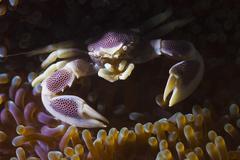 Purple pocelain crap in anemone Stock Photos