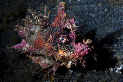Devil scorpionfish underwater at night Stock Photos