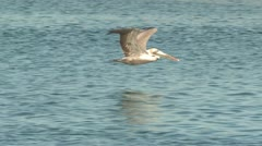 P02528 Brown Pelican Flying Low Over Water Stock Footage