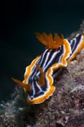 nudibranch commodoris crawling very slowly on a rock - stock photo